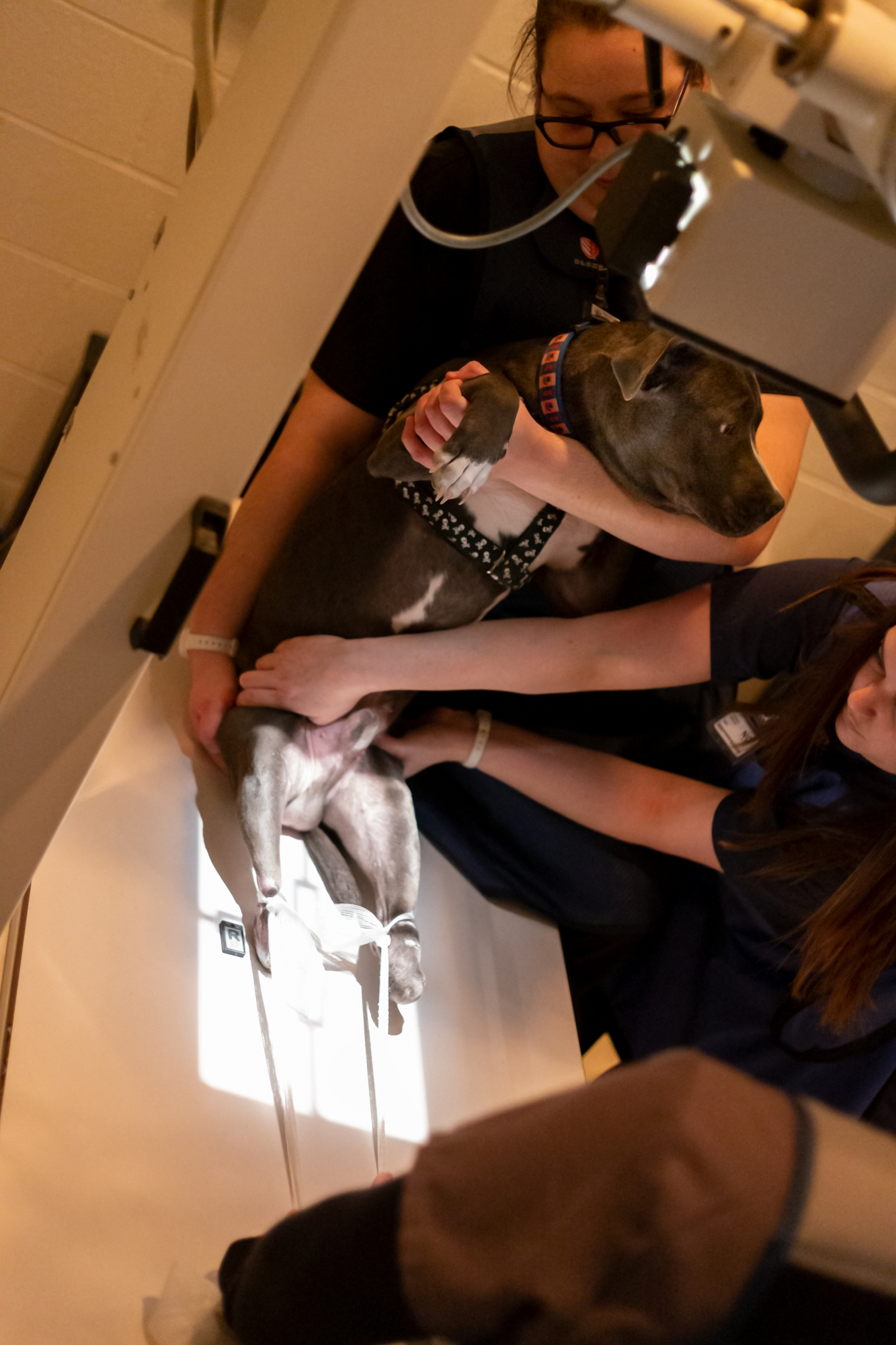 X-rays being taken of Woodie's hind paws.
